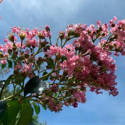 bluesky floweringtree naturesbeauty