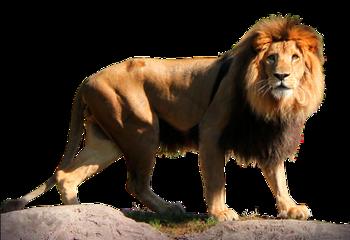 ftestickers lion animal safari freetoedit