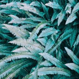 fern ferns leaves leaf plant pcgreenminimalism freetoedit pcleavesisee leavesisee