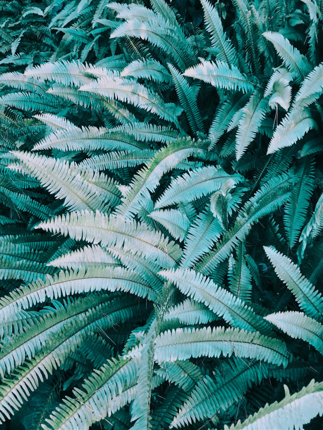 #fern #ferns #leaves #leaf #plant #plant #green #blue #nature #wilderness #wild #garden #bush #greenery #flower #backyard #freetoedit #remixit #pcgreenminimalism #greenminimalism