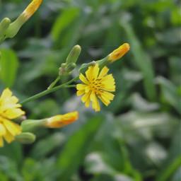 freetoedit wildflowers flower photography yellow