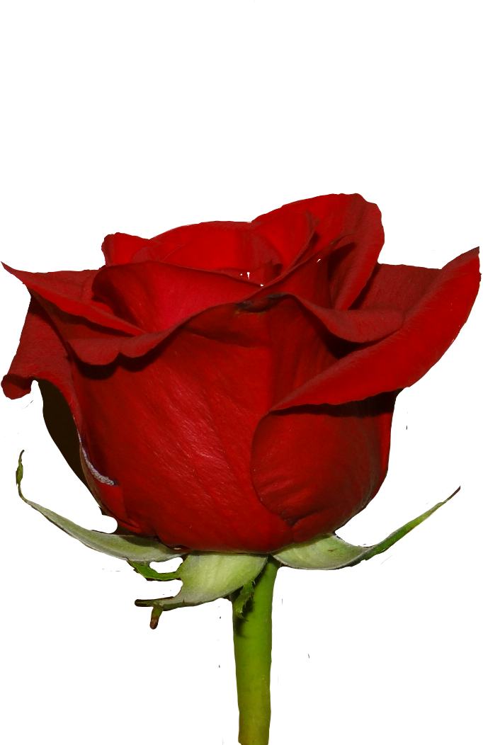 #red #rose #redrose #nature #beauty