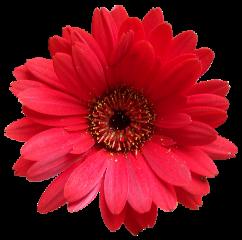 cuorelucymy lucymy mialu rosa rose freetoedit