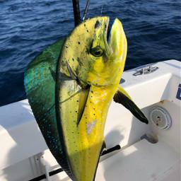 pcshadesofblue shadesofblue fishing mahi