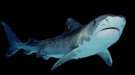 shark animal sea freetoedit
