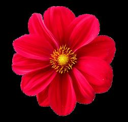 red pink flower big pretty freetoedit