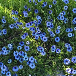 pcshadesofblue shadesofblue blue flowers periwinkle freetoedit