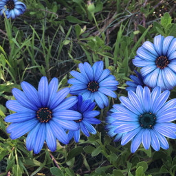 pcshadesofblue shadesofblue flower flowers pretty freetoedit