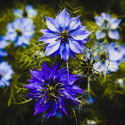 nigella moodyblues flowers