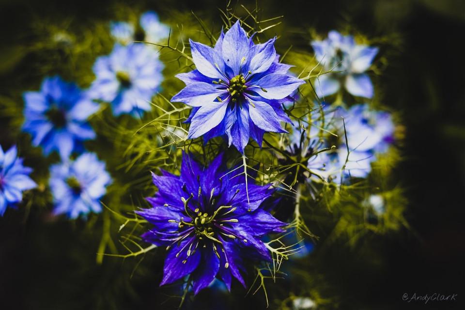 #nigella #moodyblues #flowers