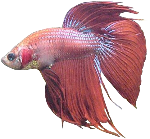 #freetoedit #betta #bettafish #fish #red #pink #blue #water #pretty #aesthetic #vsco