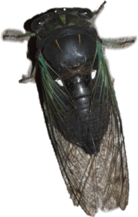 #cicada swamp or morning cicada