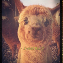 freetoedit alpaca petsandanimals smiling cutething