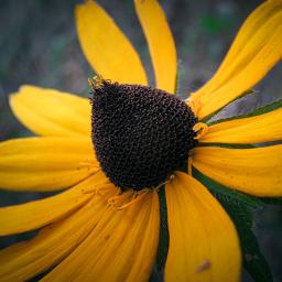 blackeyedsusan closeup yellowflower singleflower myphoto