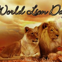 lion worldlionday wildanimal beautiful feline