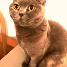 catslover cats britishshorthair pets animals