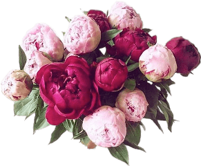 peonies flowers plants freetoedit