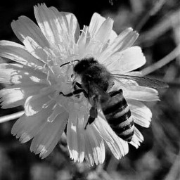 myphotography photography bee flower blackandwhite freetoedit
