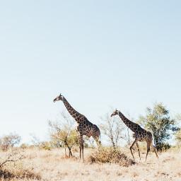 giraffe wildlife nature animal animals freetoedit