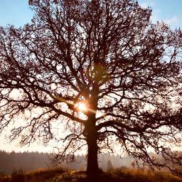 tree treeoflife sun shiningsun field freetoedit