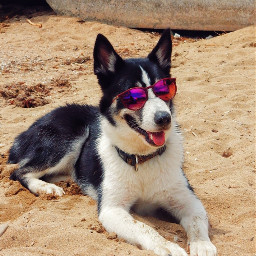 myphotography puppy husky dog cute freetoedit