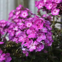 nikon camera flower purple garden freetoedit