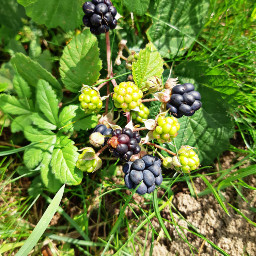 freetoedit blackberries fruit photography myphoto