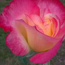 freetoedit rose pink coral delicate pcmyfavshot