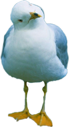 animal mouette freetoedit scseagull seagull