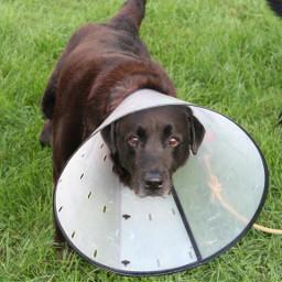 dog pet lab blacklab grass freetoedit