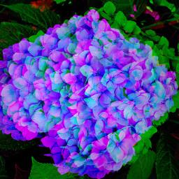 hydrangea bluepurple flower glitch freetoedit