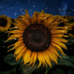 freetoedit mellowyellow sunflower nightsky starrysky