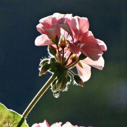pcmyfavshot myfavshot freetoedit geranium dewdrop worldphotographyday