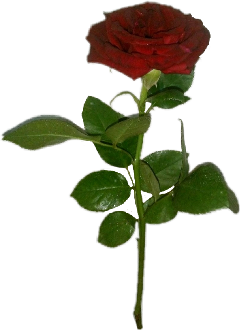 rose fleurs freetoedit