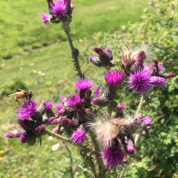 nature thistle myphotography