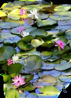 lirios freetoedit scwaterlilies waterlilies