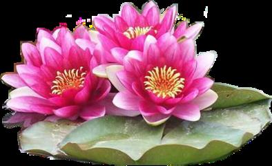 seerose pink wasserlilie blume wasser freetoedit scwaterlilies