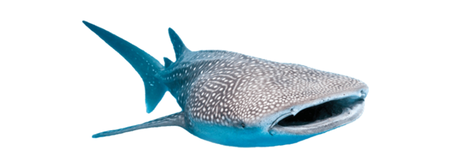 whale shark ocean freetoedit
