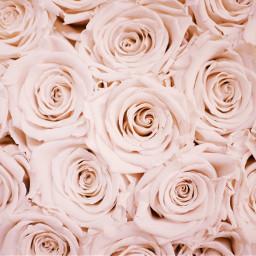freetoedit roses pinkaesthetic pink oop