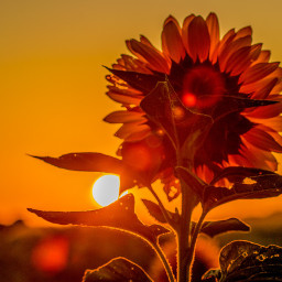 photography myphoto sunrise flower sunflower freetoedit