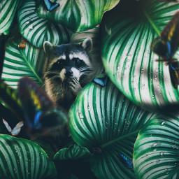 jungle raccoon be picsart art