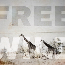 ircgiraffes giraffes freetoedit free wild