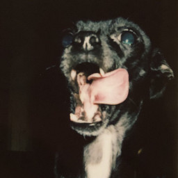 birthdaydog birthday dog pet chihuahua freetoedit