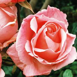 rose freetoedit edit rawimage raw