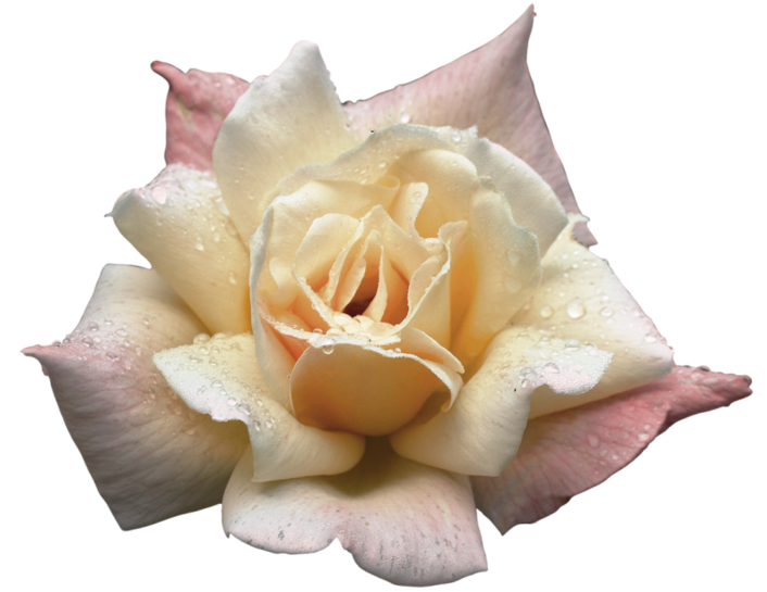#cuorelucymy #Lucymy #mialu #rosa #rose #rosalucymy