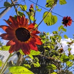 sunflower flower nature plants orange