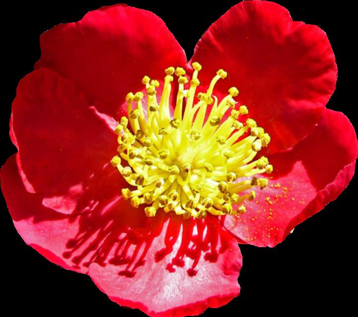 #flower #twocolors #redandyellow #fleur #flor #flores #blume #freetoedit #flowers