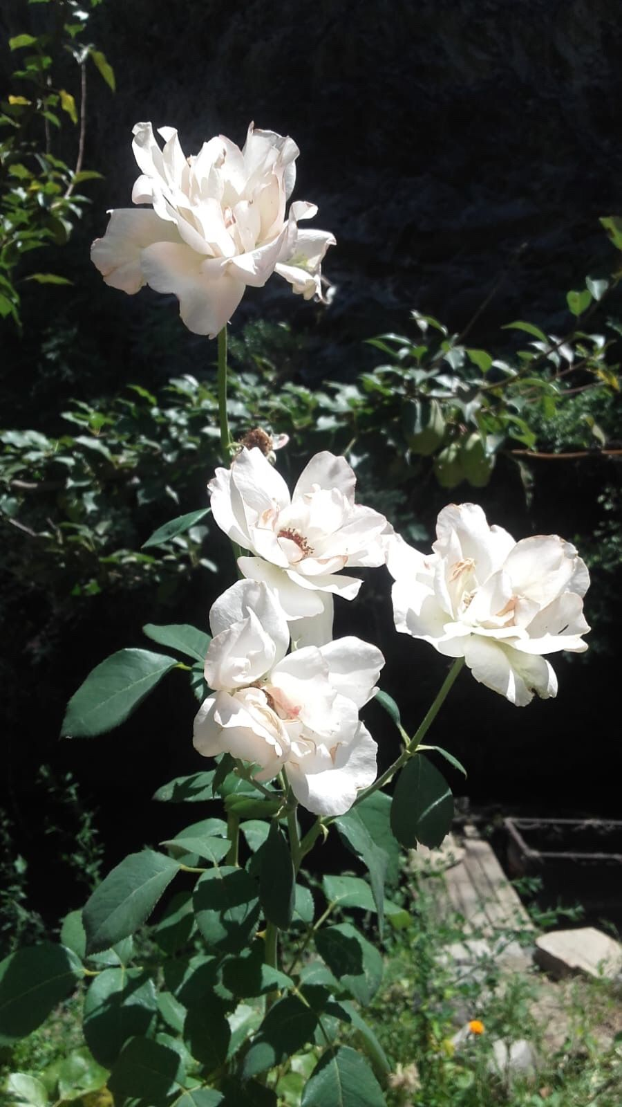 #photography #white #rose #summer