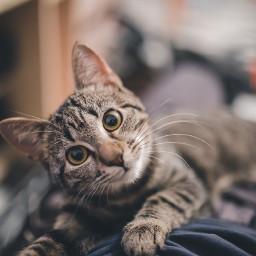 cat cats kitty pet animal freetoedit