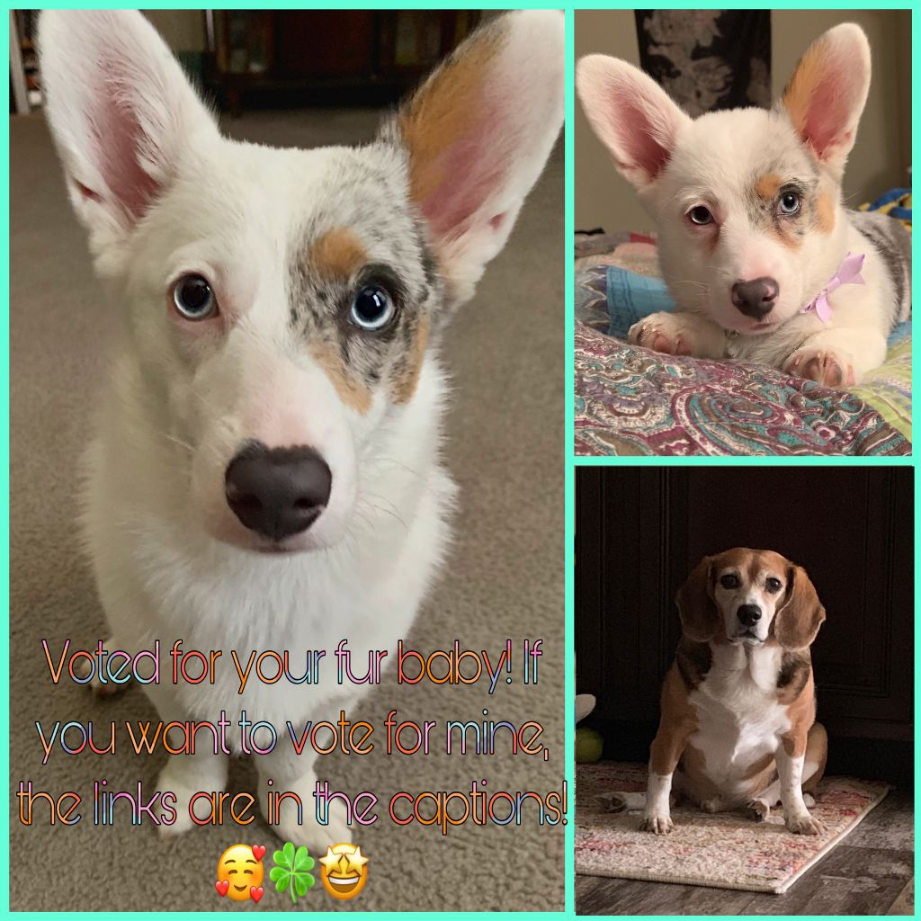 Here are the links to vote!!        Pets of PicsArt  Dany (corgi)  https://picsart.com/i/305728089227201?challenge_id=5d6cd43690a744033c32c9b7 Dany with bow (corgi) https://picsart.com/i/305728078376201?challenge_id=5d6cd43690a744033c32c9b7 Copper (beagle)  https://picsart.com/i/305728107092201?challenge_id=5d6cd43690a744033c32c9b7#FreeToEdit